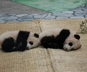 animal, black and white, and panda image