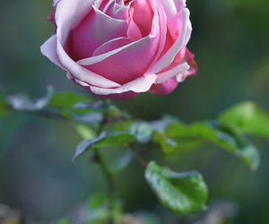 flower, nature, and pink rose image
