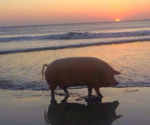 pig, beach, and sea image