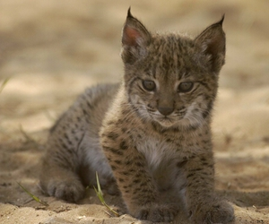 lince image
