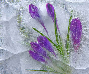 flower and ice image