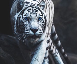 tiger, animal, and white tiger image