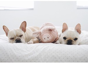 beautiful, white, and french bulldog image
