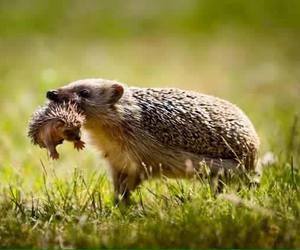 hedgehog and nature image