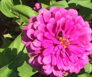 garden, pink, and zinnia image