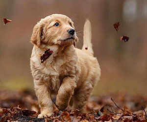 adorable, fall, and dog image