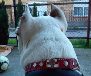 dog, pas, and staford image