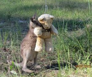 kangaroo and animal image