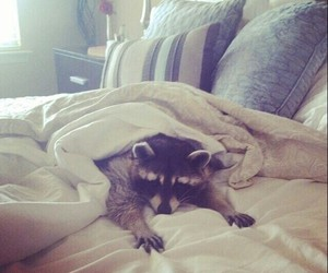 animals, bed, and raccoon image