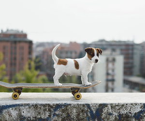 dog, jack russell terrier, and jack russell image