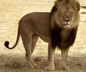 cecil, petition, and vegan image