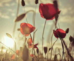 flowers, poppy, and red image