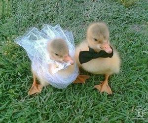duck, animal, and wedding image