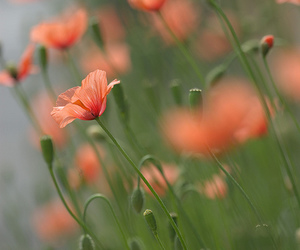 beautiful, flor, and Papaver image