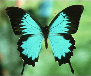 blue, butterfly, and black image