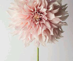 baby pink, flower, and pretty image