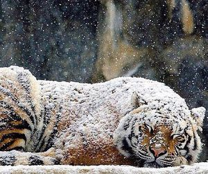 tiger, snow, and animal image
