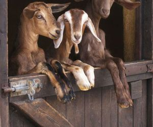 animals, barn, and goats image