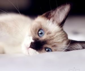 cat, blue eyes, and cute image