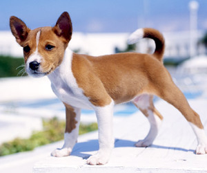 dog and basenji image