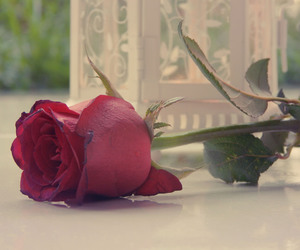 rosa and rose image