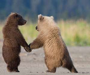 two bears in love image