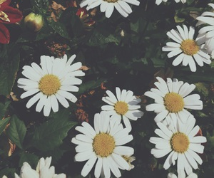 daisy, fade, and flower image