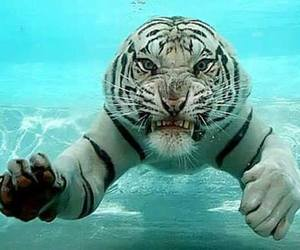 tiger, underwater, and fearce image