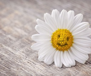daisy, flower, and white image