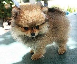 pomeranian, cute, and dog image