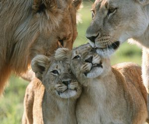 adorable, happy, and lion image