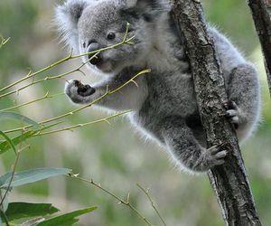 animal, Koala, and nature image