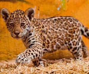 cute, leopard, and baby image