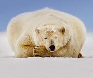 animal, polarbear, and bear image
