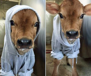 cute and cow image