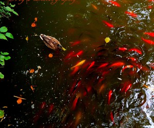 fish, garden, and lac image