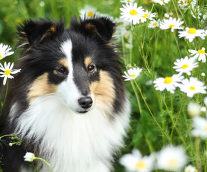 black, daisies, and dog image