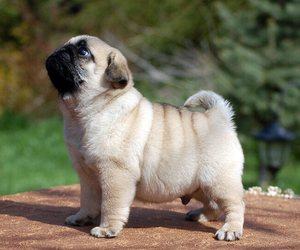 cute, pug, and dog image