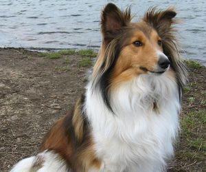 animal, dog, and sheltie image