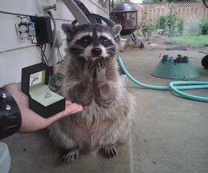 animal, ring, and raccoon image