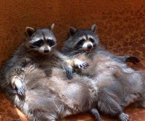 animals, funny, and raccoons image