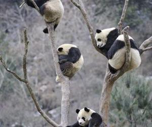 adorable, pandas, and precious image