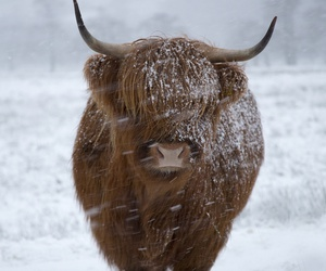 country life and highland cattle image