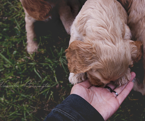 cocker spaniel, dogs, and photography image