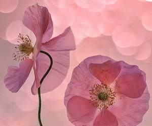 flowers, pink, and poppies image