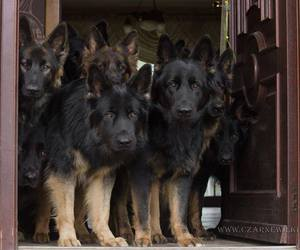 cute animals, dogs, and german shepherd image