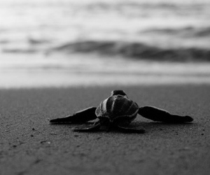 beach, turtle, and black and white image