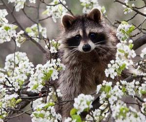 raccoon, animal, and flowers image