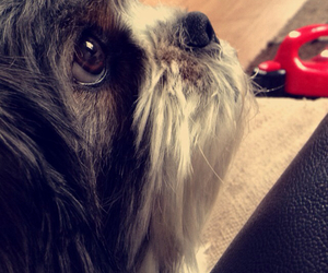 dogs, lhasa apso, and photography image