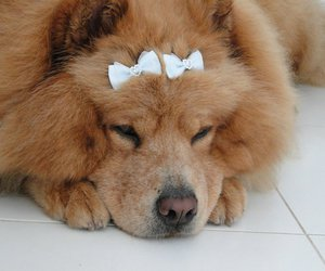 cachorro, chow chow, and dog image